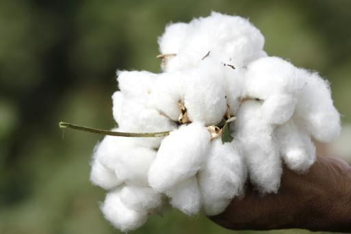 Picked_Cotton